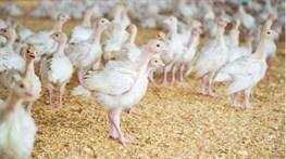 В 2021 году производство птицы в России увеличится